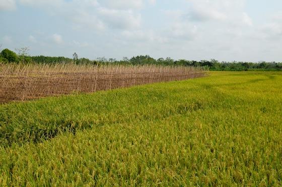 Vistas de los arrozales en los alrededores del Mekong