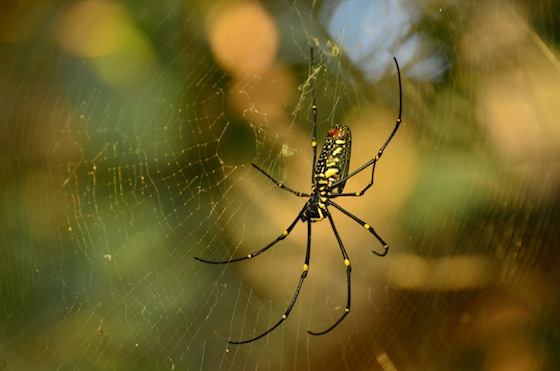 Araña en Ten 103, Ko Ta Kiev, Camboya