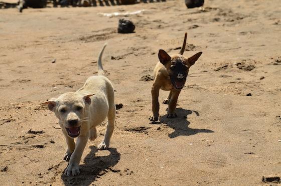 Jugando con unos perros en Koh Tonsáy