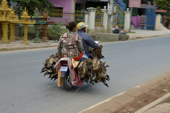 Transportando patos en motocicleta, Siem Reap, Camboya