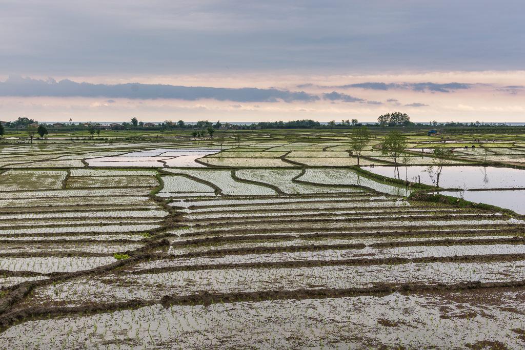 Campos de arroz en Irán